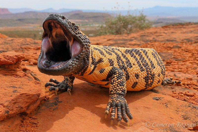 The Gila monster - Arizona Trail